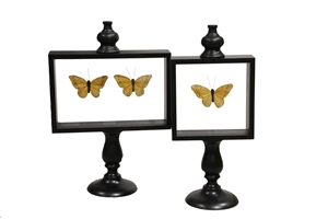 SET OF 2 CARIBBEAN BUTTERFLY SPECIMEN